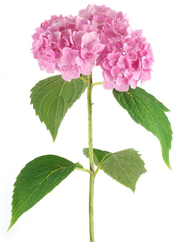 Ms Hydrangea Image